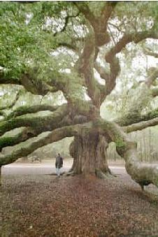 One of the oldest & Largest Oaks. A Tree of Souls?