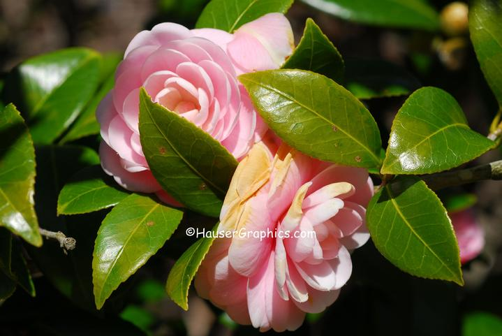 John's Island Camellias are grown at Fenwick Hall Plantation on the old Stono River near Charleston.