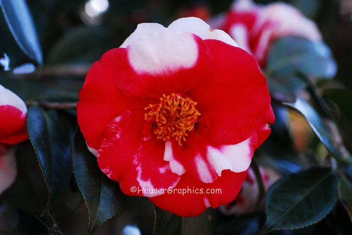 Fenwick Camellia's at Fenwick Castle, Headquarters House on the Stono River of John's Island, SC.