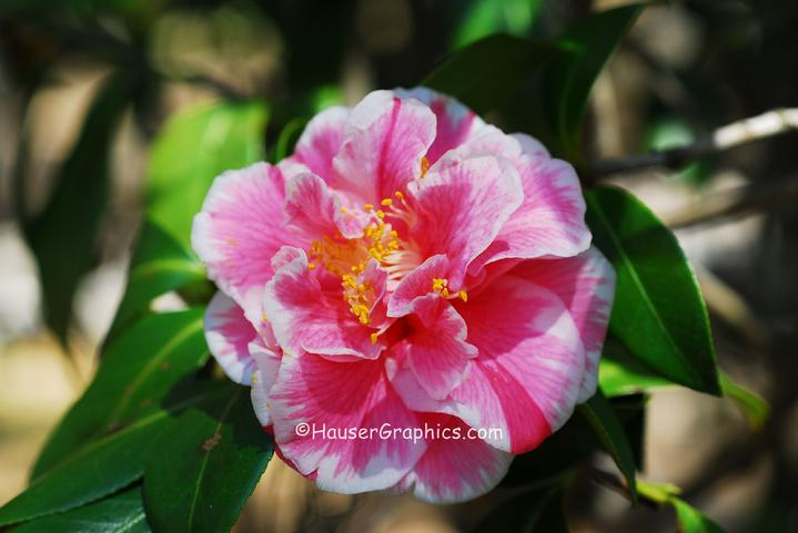 Pink and White Camellia flower at Fenwick Hall Plantation, John's Island, near Drayton Hall.
