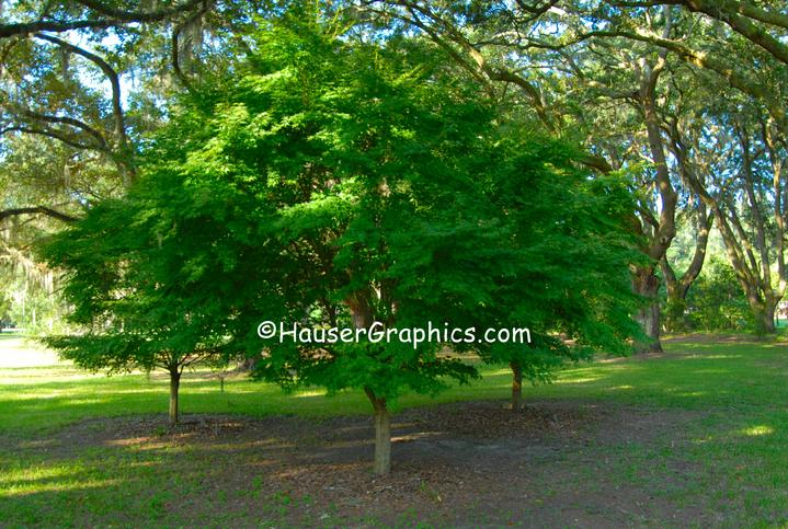 Japanese Maples, Fenwick Camellias, Drayton Hall, Hauser Photography, Hauser Historical,